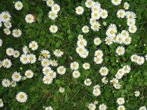 daisy-amazon