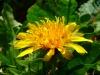 dandelion-blog