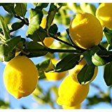 lemons-amazon