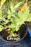 Lovage-pin