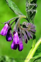 GrowingComfrey-pin