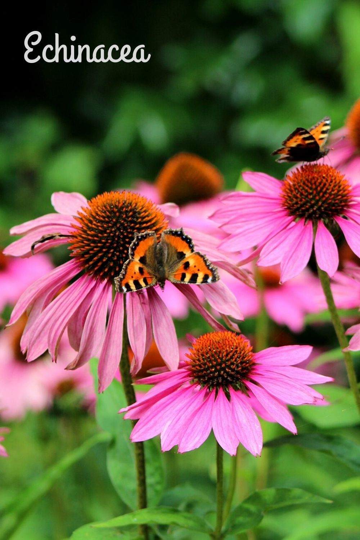 Echinacea-pin