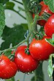perfecttomatoes-pin